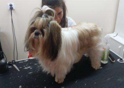 Strzyżenie psów i kursy groomerskie - Studio Pupil (5)