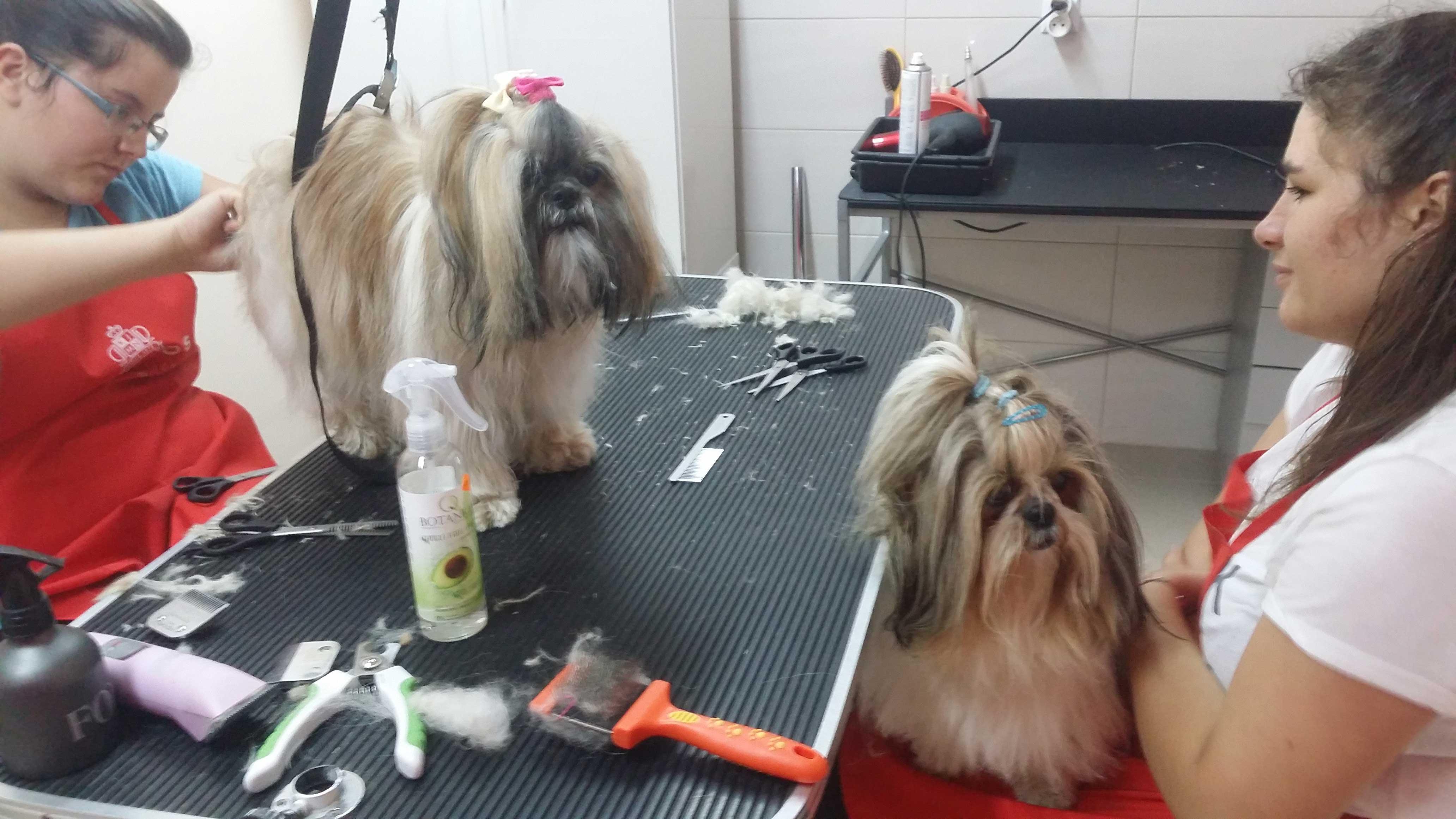 Strzyżenie-psów-i-kursy-groomerskie---Studio-Pupil-(7)