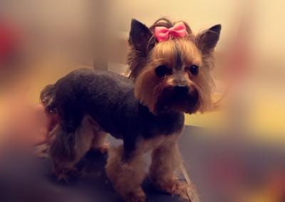 Stzryżenie-psów-i-kursy-groomerskie-Pupil-Konin-(2)