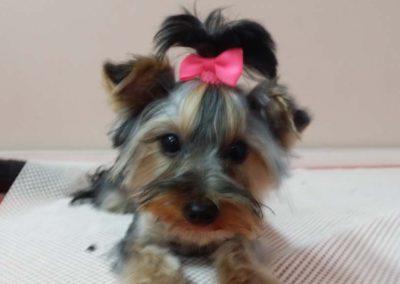 strzyżenie i pielęgnacja psów, kursy gromerskie-pupil-konin (1)