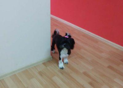 strzyżenie i pielęgnacja psów, kursy gromerskie-pupil-konin (20)
