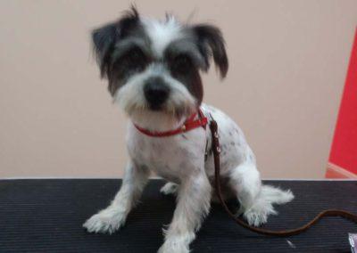strzyżenie i pielęgnacja psów, kursy gromerskie-pupil-konin (22)