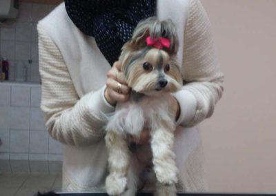 strzyżenie i pielęgnacja psów, kursy gromerskie-pupil-konin (31)