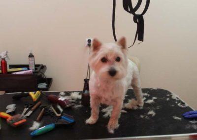 strzyżenie i pielęgnacja psów, kursy gromerskie-pupil-konin (42)