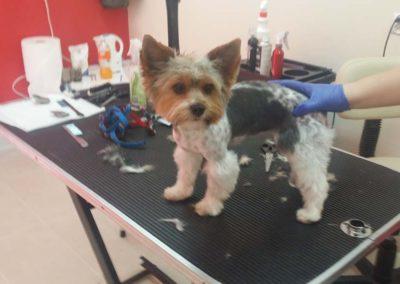 strzyżenie i pielęgnacja psów, kursy gromerskie-pupil-konin (46)