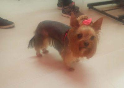 strzyżenie i pielęgnacja psów, kursy gromerskie-pupil-konin (48)