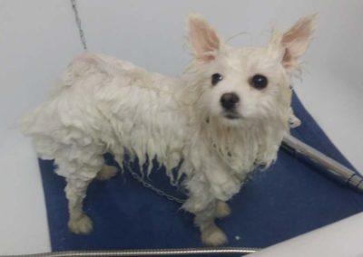 strzyżenie i pielęgnacja psów, kursy gromerskie-pupil-konin (55)