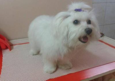strzyżenie psów Pupil - Konin (1)