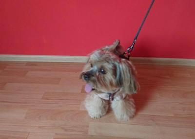 strzyżenie psów Pupil - Konin (2)