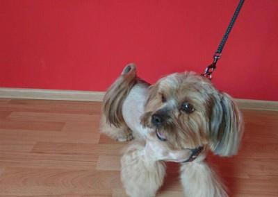 strzyżenie psów Pupil - Konin (5)