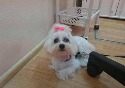 strzyżenie psów Pupil - Konin (7)
