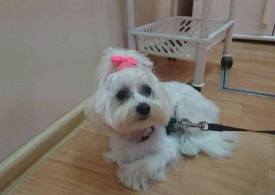 strzyżenie psów Pupil - Konin (8)